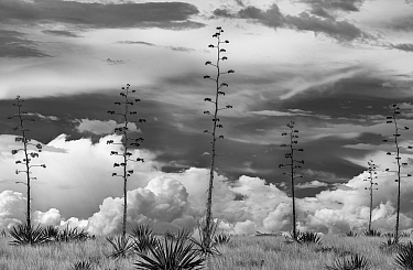 Agaves (Agave palmeri) in flower, black and white image. Sands Ranch Conservation Area, Arizona, USA. July.