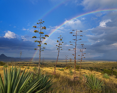 Agaves (Agave palmeri) in flower with double rainbow, Sands Ranch Conservation Area, Arizona, USA. July.