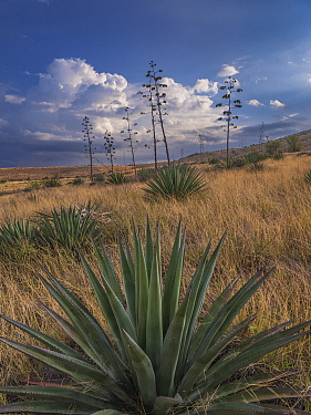 Agaves (Agave palmeri) in flower in Sands Ranch Conservation Area, Arizona, USA. July.