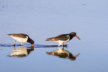 Oystercatcher (Haematopus ostralegus) adult calling and juvenile feeding in shallow water. Suffolk, UK. August