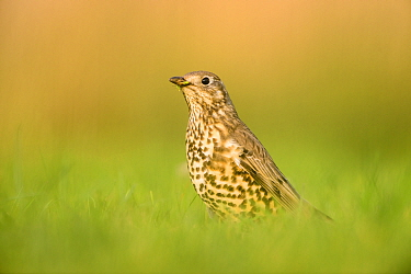 Mistle thrush (Turdus viscivorus) hunting for food to feed its chicks. London, UK. April