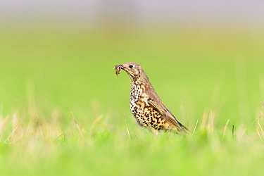 Mistle thrush (Turdus viscivorus) with earthworm (Lumbricina) to feed its chicks. London, UK. April