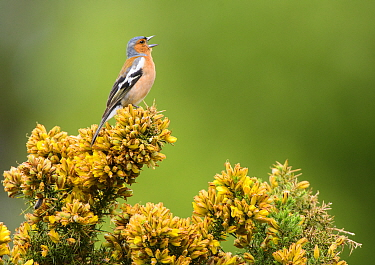 Common chaffinch (Fringilla coelebs) male singing from flowering gorse bush (Ulex). Suffolk, UK. May.