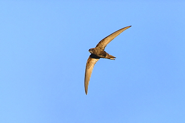 Common swift (Apus apus) in flight. Suffolk, UK. May.