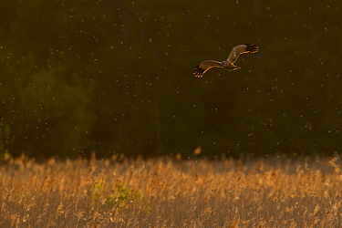 Western marsh harrier (Circus aeruginosus) male hunting over reedbed, backlit at sunset. Suffolk, UK. May.