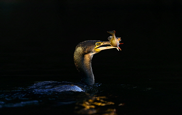 Great cormorant (Phalacrocorax carbo) with fish prey. London. January