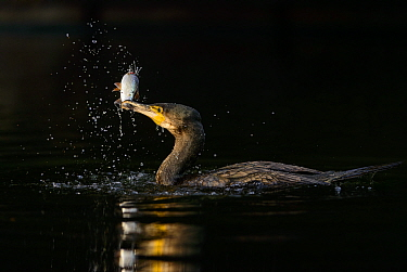 Great cormorant (Phalacrocorax carbo) surfacing after a successful dive to hunt for fish. London. January