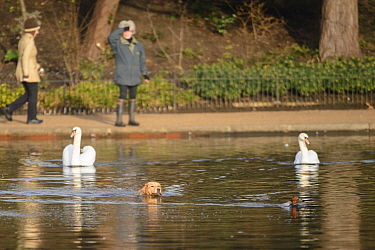 A domestic dog chases a common pochard (Aythya ferina) through the water, pursued by a pair of mute swans (Cygnus olor), with the dog's owner looking on from the path. Hyde Park, London. January