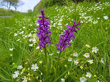 Early purple orchid (Orchis mascula)and greater stitchwort (Stellaria holostea) Norfolk, England, UK, May.