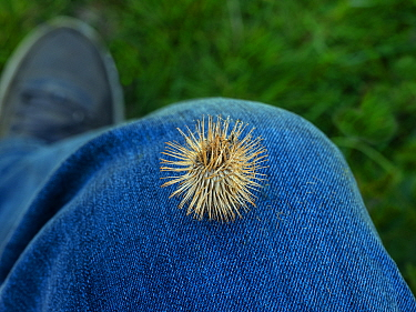 Common burdock (Arctium) seed heads caught on clothing, England, UK, April.