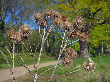 Common burdock (Arctium) seed heads in spring, England, UK, April.