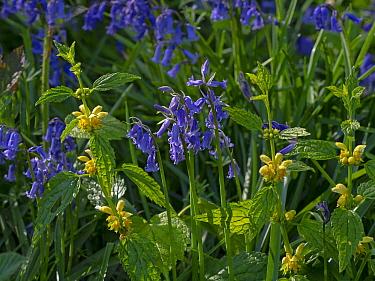 Bluebells (Hyacinthoides non-scriptus) in flower with Yellow archangel (Lamium galeobdolon) Blickling Great Wood, Norfolk, England, UK, April