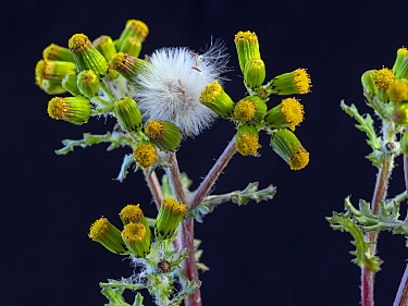 Common groundsel (Senecio vulgaris) flowers and seed heads, Norfolk , England, UK.