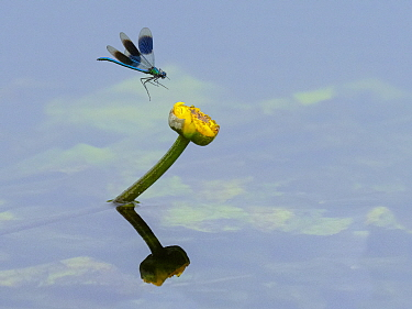RF - Banded demoiselle (Calopteryx splendens) male in flight approaching yellow water lily flower, River Wensum. Norfolk, England, UK. June. (This image may be licensed either as rights managed or roy...