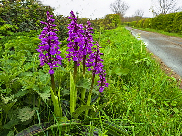 Early purple orchid (Orchis mascula) growing in in roadside verge along Norfolk lane, England, UK, April.