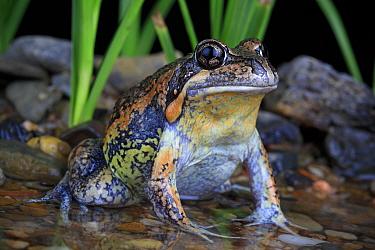 Eastern Banjo Frog (Limnodynastes dumerilii) male in summer breeding colouration. Donnybrook , urban fringe of northern Melbourne. Controlled conditions.