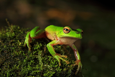Portrait of an adult Leaf green river tree frog (Litoria nudidigita) from a stream to the west of Nowra in southern NSW, Australia.