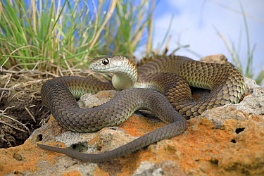 Lowland copperhead snake (Austrelaps superbus) male, basking. from northern metropolitan Melbourne, Australia. Controlled conditions.