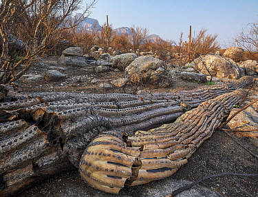 Saguaro (Carnegiea gigantea) cacti burnt and toppled by Big Horn Fire, a wildfire caused by a lightning strike on 5th June 2020 burnt for six weeks engulfing 120,000 acres of Sonoran Desert. Catalina...
