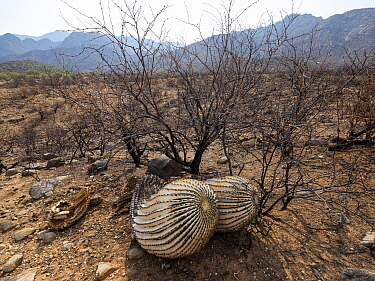 Barrel cactus (Ferocactus wislizeni) charred by Big Horn Fire, a wildfire caused by a lightning strike on 5th June 2020 which burnt for six weeks engulfing 120,000 acres of Sonoran Desert. Catalina St...