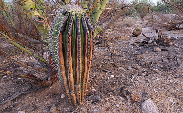 Saguaro cactus (Carnegiea gigantea) beneath Palo verde (Cercidium microphyllum) nurse tree, scorched by Big Horn Fire, a wildfire caused by a lightning strike on 5th June 2020 which burnt for six week...