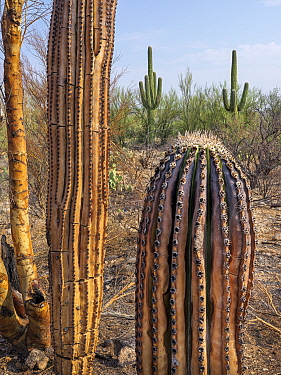 Saguaro (Carnegiea gigantea) charred by Big Horn Fire, a wildfire caused by a lightning strike on 5th June 2020 which burnt for six weeks engulfing 120,000 acres of Sonoran Desert. Catalina State Park...