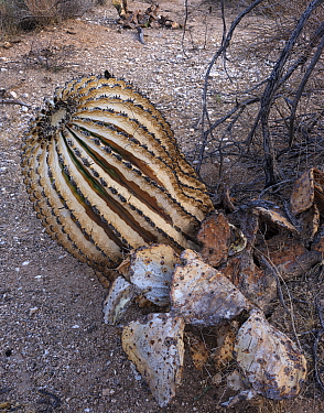 Barrel cactus (Ferocactus wislizeni) and Prickly pear (Opuntia sp) charred by Big Horn Fire, a wildfire caused by a lightning strike on 5th June 2020 which burnt for six weeks engulfing 120,000 acres...