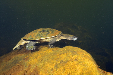 Northern snapping turtle (Elseya dentata) walking along the bottom of a deep, rocky creek, Katherine region, Northern Territory, June