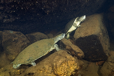 Northern snapping turtles (Elseya dentata), resting in an underwater cave shared with other northern snapping turtles, Katherine region, Northern Territory, Australia. July.
