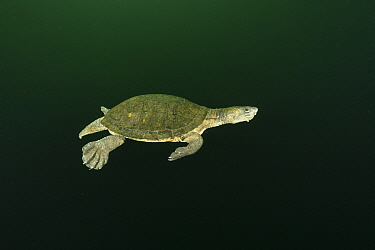 Northern snapping turtle (Elseya dentata) swimming away in mid-water column, Daly region, Northern Territory, Australia. June.