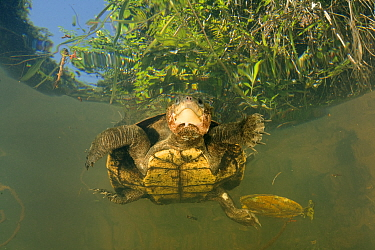 Looking up at Irwin's turtle (Elseya irwini), large adult female found on the surface, possibly breathing or warming up, North Johnstone River near Malanda, Australia. August.
