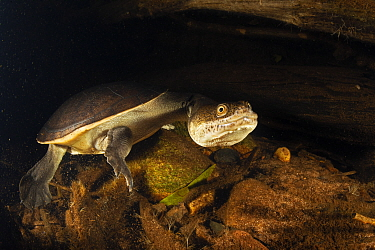 Northern long-neck turtle (Chelodina rugosa) in a small Adelaide River tributary at night, Northern Territory, Australia. May.