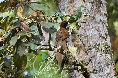 Brown sicklebill (Epimachus meyeri) female perched in tree. Western Highlands, Papua New Guinea.