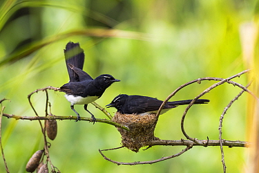Willie wagtail (Rhipidura leucophrys) pair at nest, one incubating. Papua New Guinea.