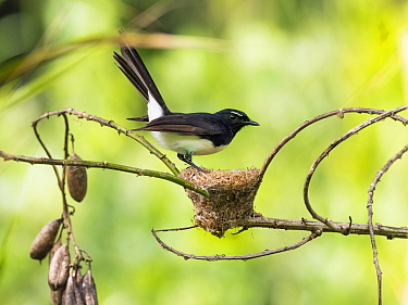 Willie wagtail (Rhipidura leucophrys) at nest. Papua New Guinea.