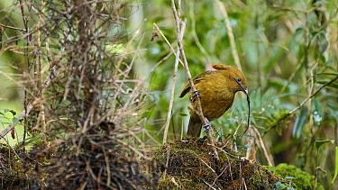 MacGregor's bowerbird (Amblyornis macgregoriae) male constructing bower at display site, material in beak. Papua New Guinea.