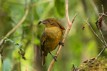 MacGregor's bowerbird (Amblyornis macgregoriae) male perched on branch, material to decorate bower in beak. Papua New Guinea.