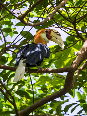 Papuan hornbill (Rhyticeros plicatus) male perched in tree. Papua New Guinea.