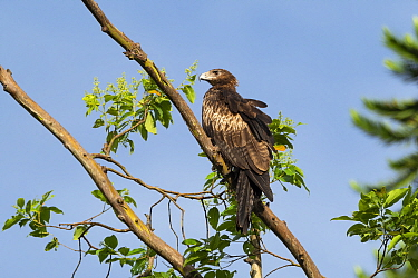 Pygmy eagle (Hieraaetus weiskei) perched on branch. Papua New Guinea.