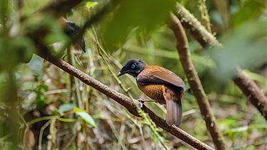 Lawes's parotia (Parotia lawesii) female perched on branch. Papua New Guinea.