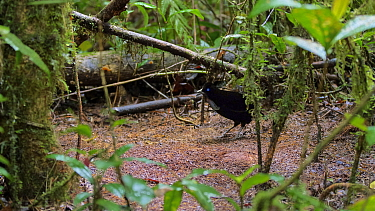 Lawes's parotia (Parotia lawesii) male at display ground in forest. Papua New Guinea.