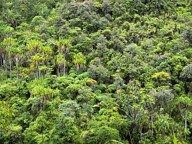 Montane rainforest canopy, Simbu Province, Highlands Region, Papua New Guinea. 2019.