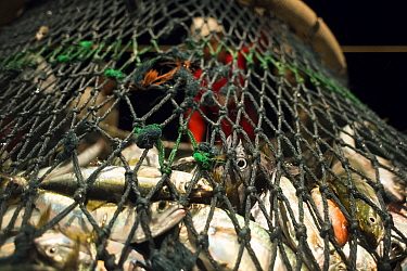 Fish caught in scoop net prior to unloading onto the deck of a commercial purse seiner, Andaman Sea during the night, Krabi Province, Thailand, December 2015.