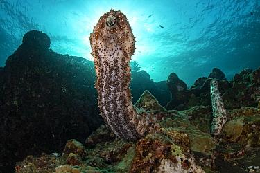 Graeff's sea cucumbers (Bohadschia graeffei) extend their bodies to spawn on top of coral bommie, releasing gametes into the flowing current at Hin Daeng Pinnacle, Mu Koh Lanta National Park, Krabi Pr...