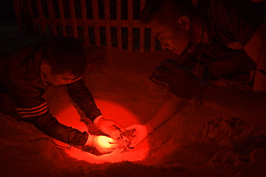 Under dim red light, marine biologist and park officials dig up the nest of a Leatherback sea turtle (Dermochelys coriacea) uncovering the hatchlings that were stuck in hard sand, prior to them into t...