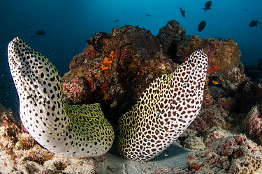 Laced moray eels (Gymnothorax favagineus) inhabit the same crevice in the reefs, North Male Atoll, Republic of Maldives.