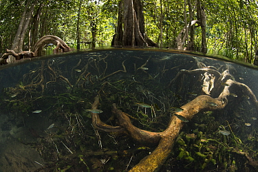 Freshwater spring in shade from thick forest canopy at Tha Pom Khlong Song Nam, with school of Rasbora (Rasbora sp.) and vegetations can be seen below the surface, Krabi Province, Thailand.