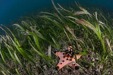 Horned sea star (Protoreaster nodosus) in seagrass bed at Bunaken Island, Bunaken National Marine Park, North Sulawesi, Indonesia.