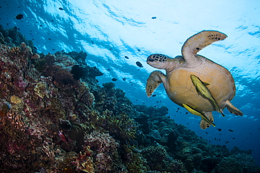 Green sea turtle (Chelonia mydas) with a pair of Live sharksucker (Echeneis naucrates) swimming along the reef drop-off at Bunaken Island, Bunaken National Marine Park, North Sulawesi, Indonesia.