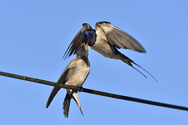 Barn swallow (Hirundo rustica) feeding young, in flight, Vendee, France, July